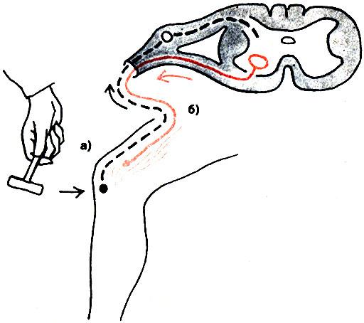 Флит: откуда начинается рефлекторная дуга коленного рефлекса.